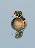 Male Wood Duck in the water