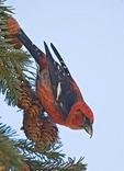 White Winged Crossbill in a pine tree