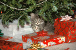 Kittens under Christmas tree with presents