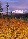 Autumn colors with Alaska Mountain Range in the background