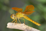 Adult Male Mexican Amberwing  P