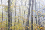 Foggy woodland, Autumn, Monongahela National Forest, Webster County, West Virginia, USA