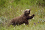 Grizzly bear  Spring cub playing in Sable Pass.