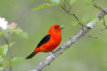 Scarlet Tanager in Hawthorn Spring time