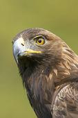 Captive Golden Eagle
