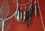 Day's fishing catch hanging outside the cabin