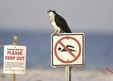 Osprey sitting on sign Florida