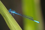 Blue Damselfly on  a blade of grass