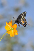 Black Swallowtail on a flower