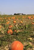 Pumpkins growing in a country farm field