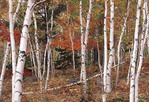 Fall Birch trees in Acadia Forest