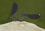 Ebony Jewelwing Damselflies Mating