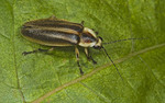 Firefly or lightening bug on a leaf
