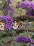 Monarch butterflies on purple butterfly weed