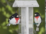 MALE ROSE BREASTED GROSBEAKS AT A FEEDER