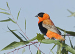 Male Orange Bishop