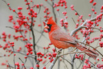 Northern Cardinal in Winterberry