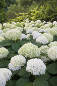 These hydrangea flowers look like giant snowballs