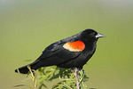Adult Male Red-winged Blackbird