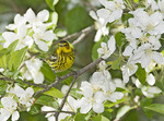 MALE CAPE MAY WARBLER  IN THE SPRING