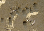 Bank Swallows flying near cliff