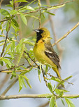 ORCHARD ORIOLE IN A TREE