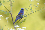 Blue Grosbeak on Poison Hemlock