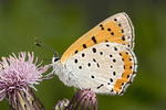 Adult Female Bronze Copper Butterfly
