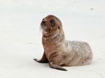Fur Sea Lion pup i the sand