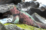 Marine Iguana on a rock