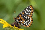 Adult Female Baltimore Checkerspot
