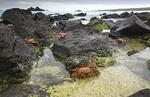 Sally Lightfoot Crabs  along the shoreline Espanola Island, Galapagos National Park, Ecuador