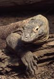 Komodo Dragon showing claws