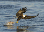 Bald Eagle trying to catch a fish