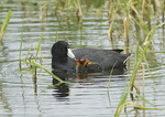 American Coot with chicks