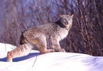 Adult Male Lynx in the winter