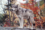 Eastern Timber Wolf in the Fall Great Lakes Region