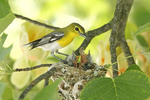 Yellow-throated Vireo at Nest