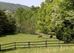 Horses grazing in a pasture in Blue ridge Parkway, Virginia