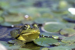 Green frog  Rana clamitans in lily pads