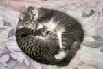 Two Kittens sleeping together