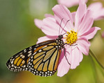 Monarch butterfly  on pink Cosmos flower.