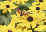 Monarch butterfly on Black Eyed Susan
