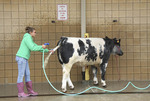 Young girl hosing off her cow at state fair