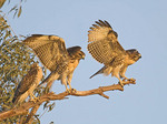Three Red Tailed Hawk  fledglings