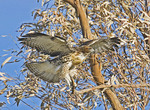 Red Tailed HawK  fledgling