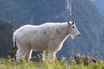 Mountain goat, Waterton Glacier International Peace Park, USA - Canada