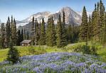Wildflowers below the peak of Mount Rainier.  A patrol cabin near Indian Henry's Hunting Grounds sits below the towering peak.
