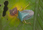 Stink bug in Peruvian Amazon