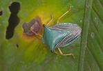 Stink bug in Peruvian Amazon